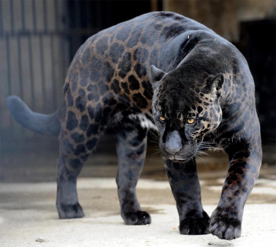 Jaguar-negra