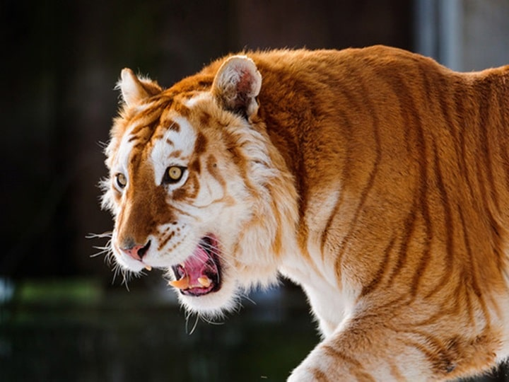 Tigre dourado