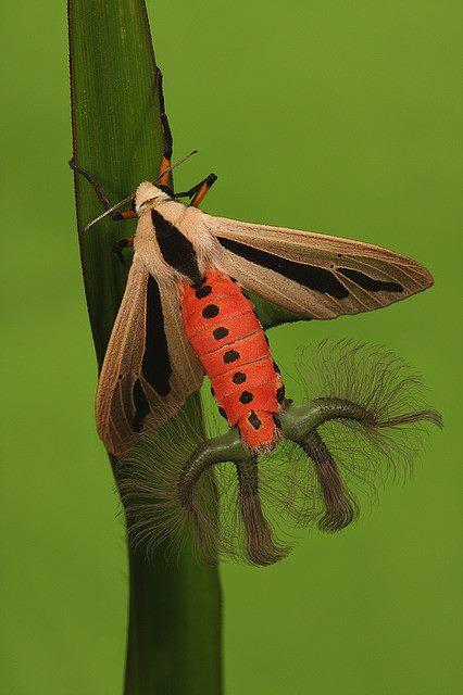 Mariposa estranha