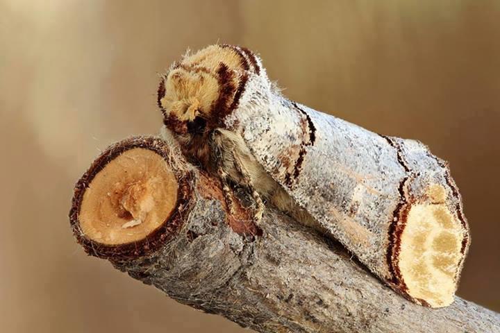 Phalera-bucephala