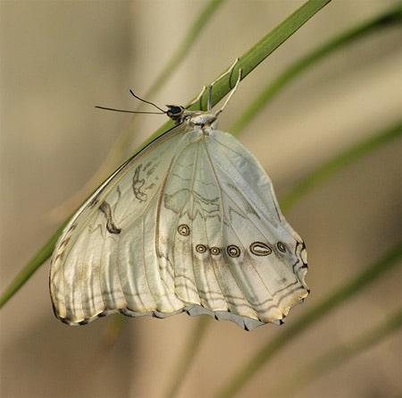 Borboleta branca