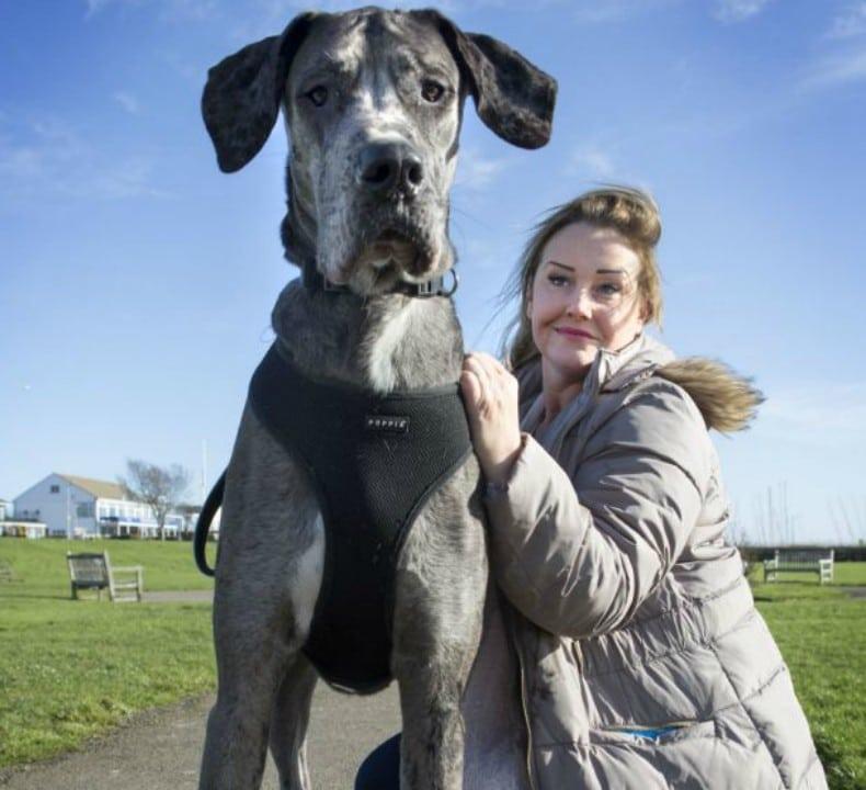 Cachorro gigante que pode ultrapassar posto de Zeus