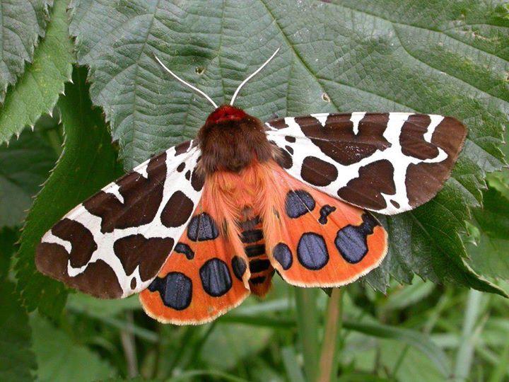 Mariposa-tigre-de-jardim