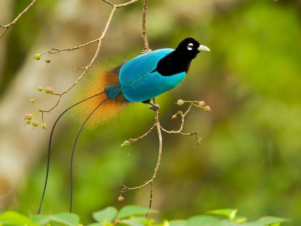Resultado de imagem para escala de ave do paraiso