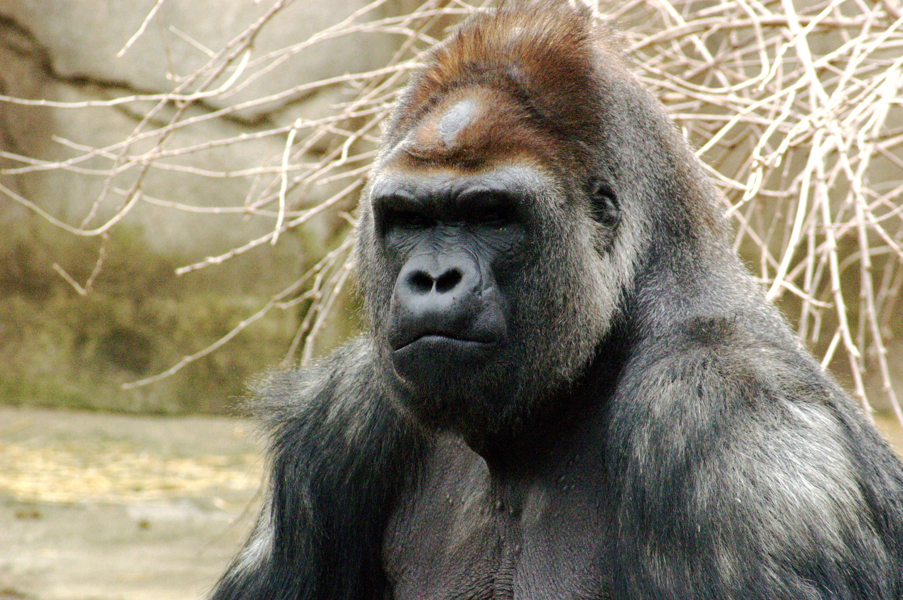 Maior primata do mundo