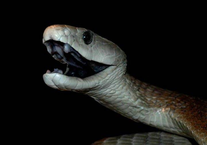 A cobra mais rápida do mundo
