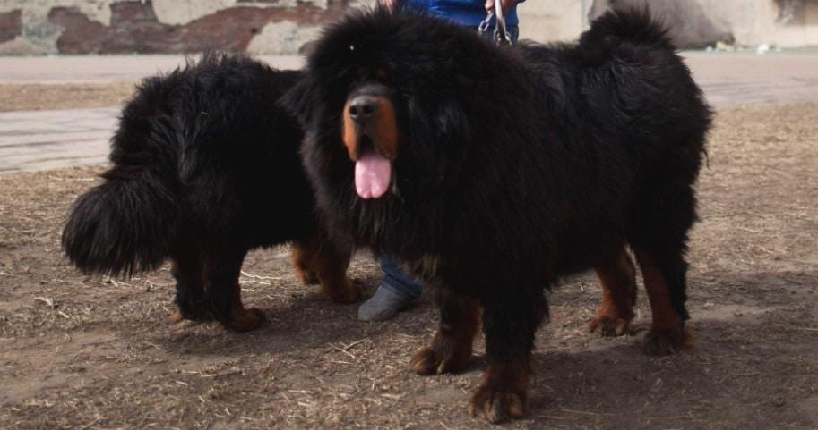 Raça de cachorro mais cara do mundo