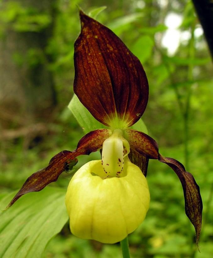 Orquídea sapato de bailarina