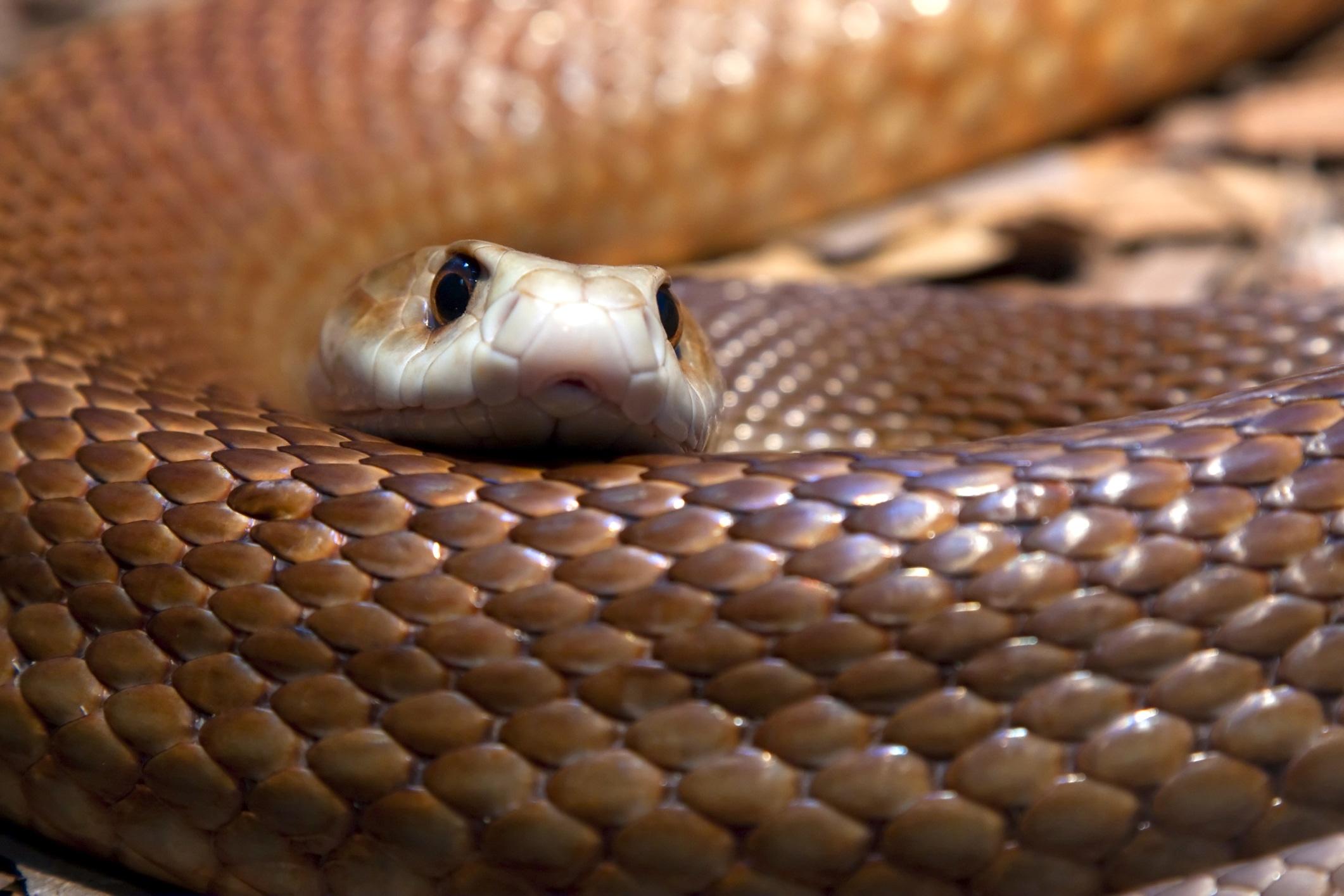 Cobra mais venenosa do mundo
