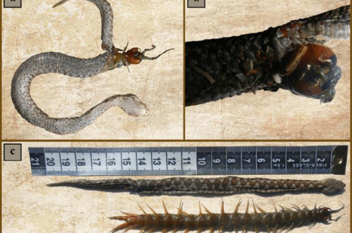 Cobra devorada por centopeia