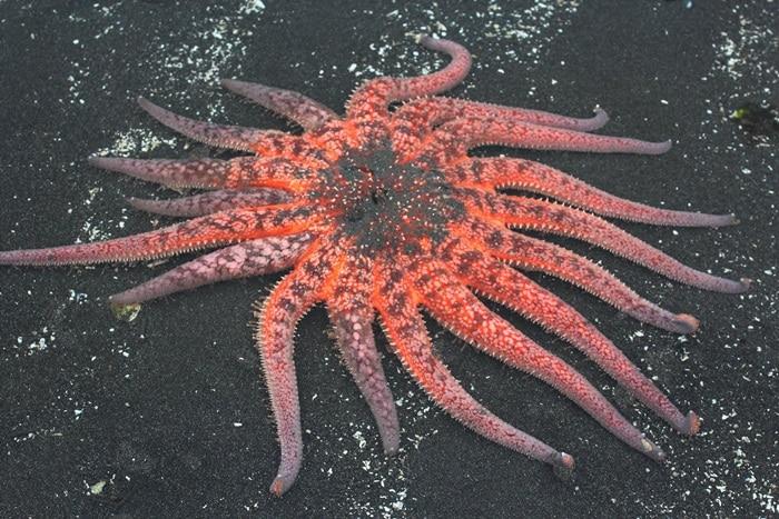 Maior estrela do mar do mundo