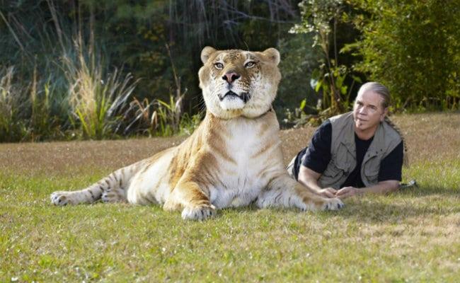 Ligre O Maior Felino Do Mundo Topbiologia Com
