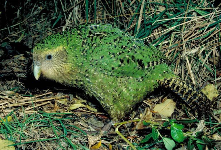 Papagaio-mocho