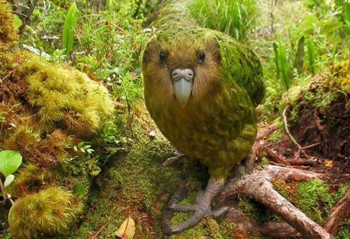 Papagaio-moco