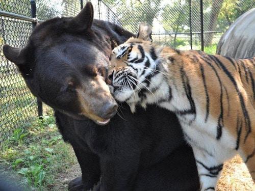Urso e tigre-de-bengala