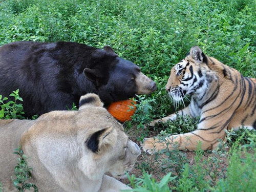 Urso, leoa e tigre