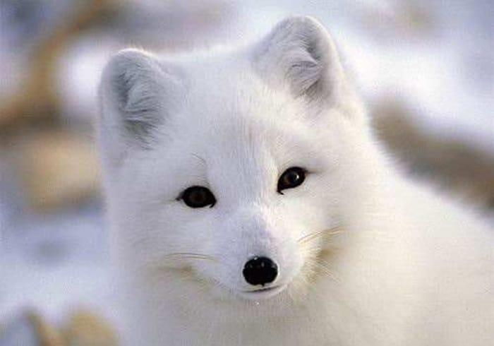 Resultado de imagem para raposa do artico