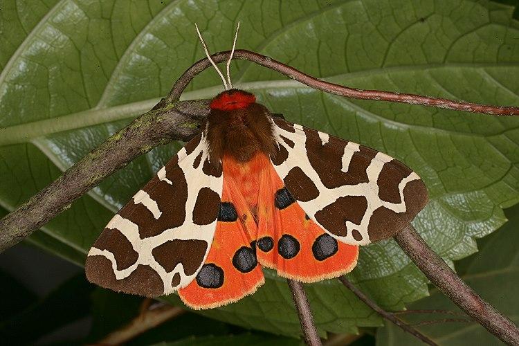 Mariposa-tigre