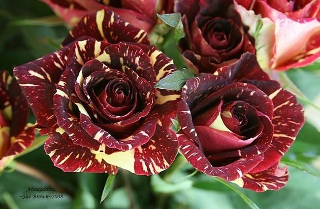 Rosa híbrida