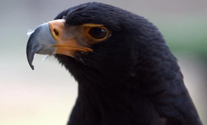 Resultado de imagem para Águia-negra-africana