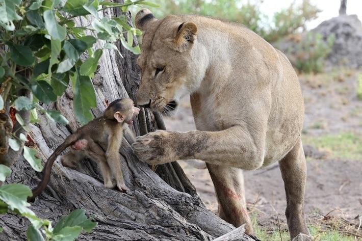 Reação de uma leoa ao encontrar um babuíno