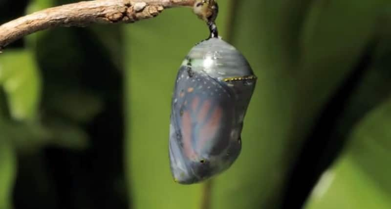 Transformação de lagarta em borboleta