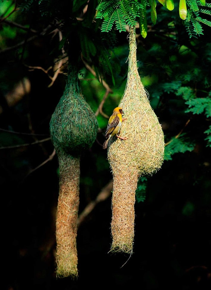 (Ploceus philippinus)