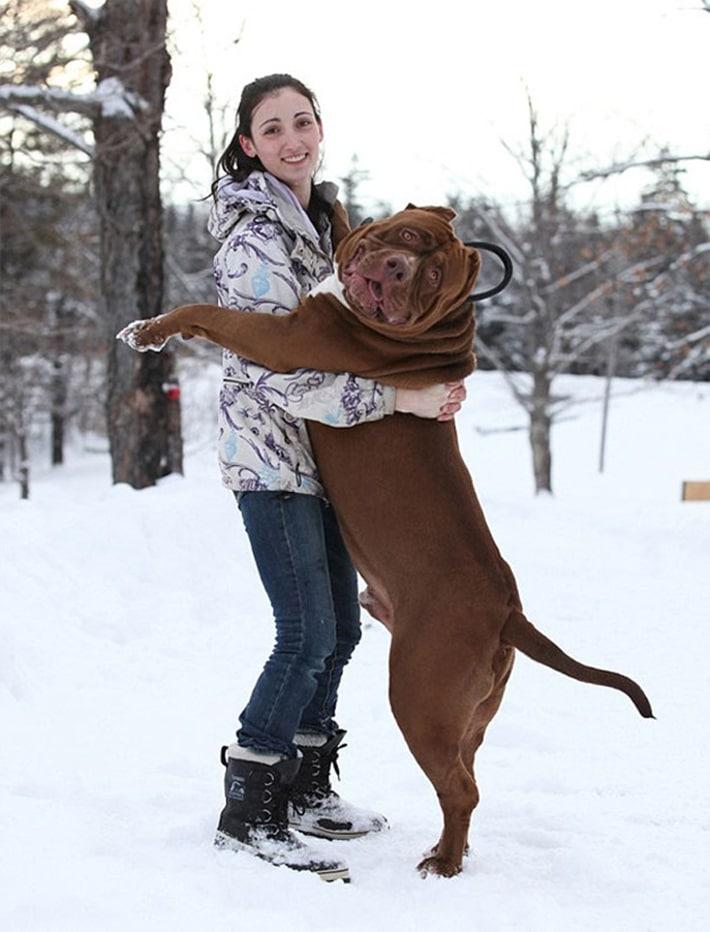 Pit bull gigante