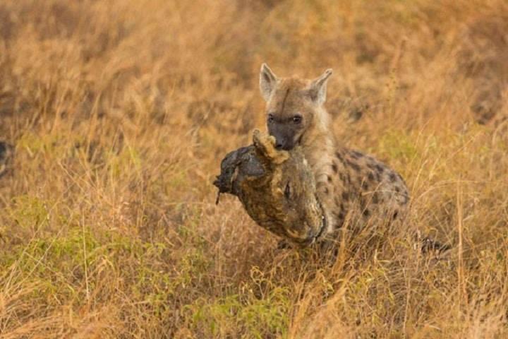 Hiena carrega cabeça de leão