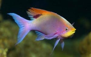 Espécie de peixe tropical