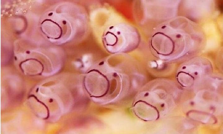 Tunicados roxos parecem emojis