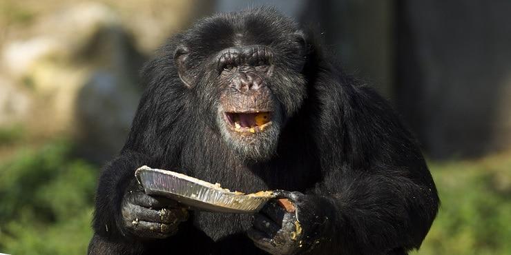 Chimpanzé se alimentando no dia de Ação de Graças de 2014, na Flórida