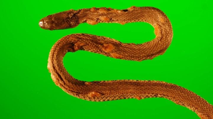 Serpente afetada por fungo