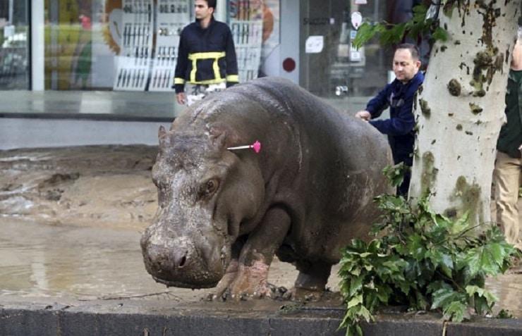 Hipopótamo solto na rua