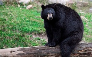 Ursos-negros voltam a aparecer em regiões dos EUA