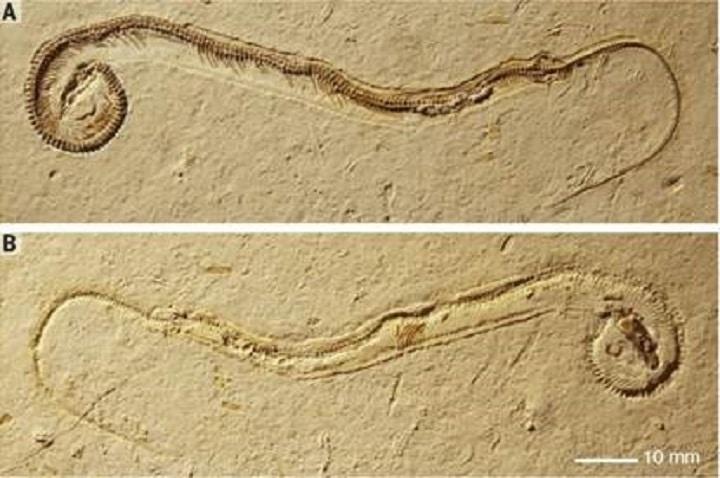 Fóssil de cobra pré-histórica