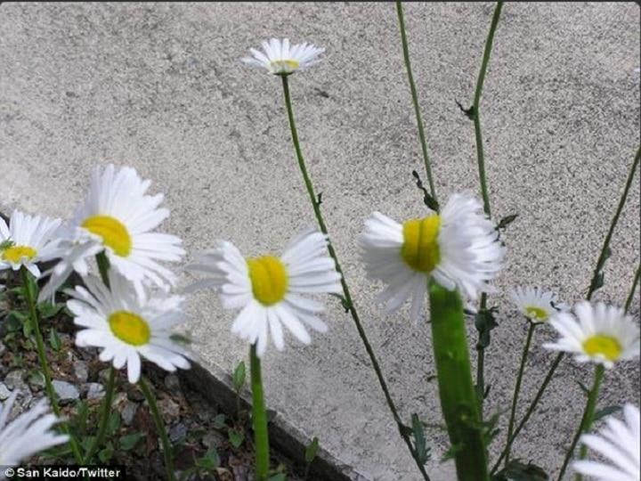 Flores nascem deformadas em Fukushima