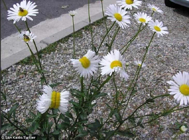 Flores nascendo deformadas em Fukushima