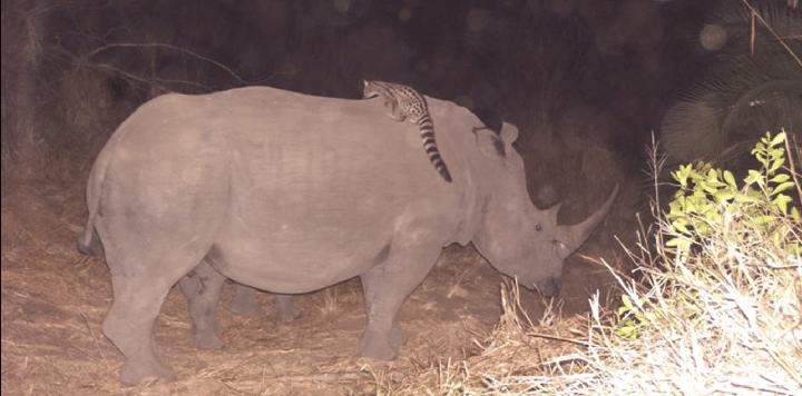 Rinoceronte e gineta