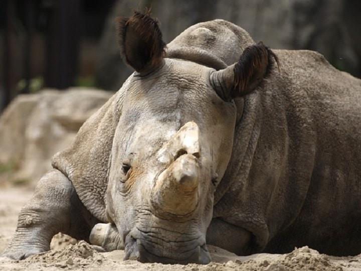 Rinocerontes brancos estão quase extintos