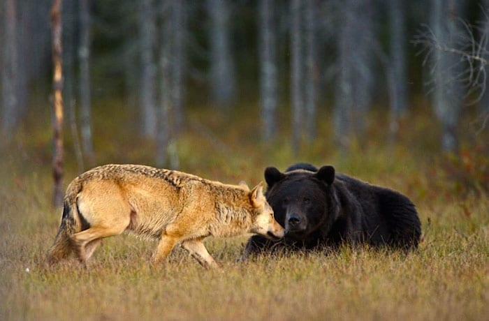 Urso e loba