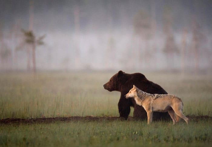 Urso e lobo
