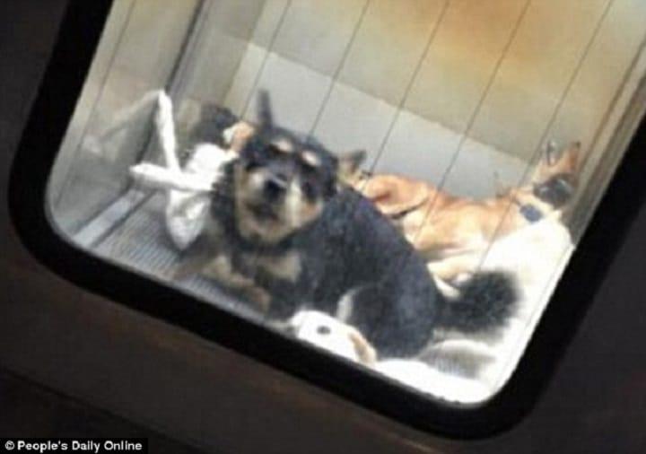 Cães abandonados nas ruas do Japão ficam presos por sete dias antes de serem mortos